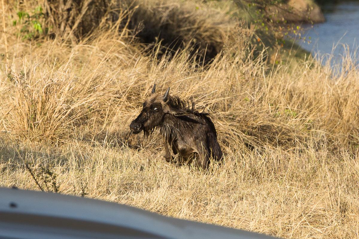 Soggy baby wildebeest