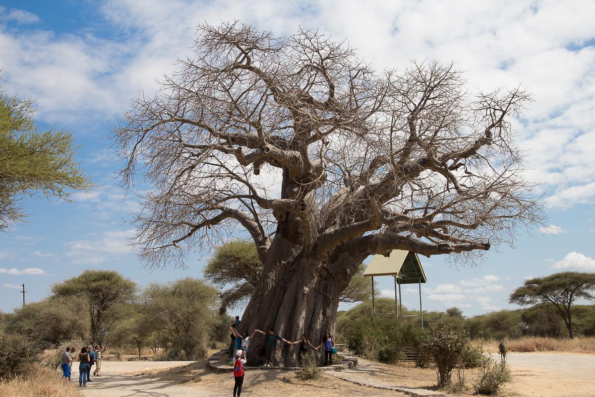 Giant Baobab