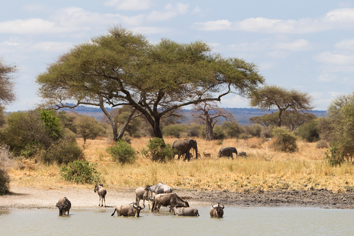 Baobabs and Wildebeests
