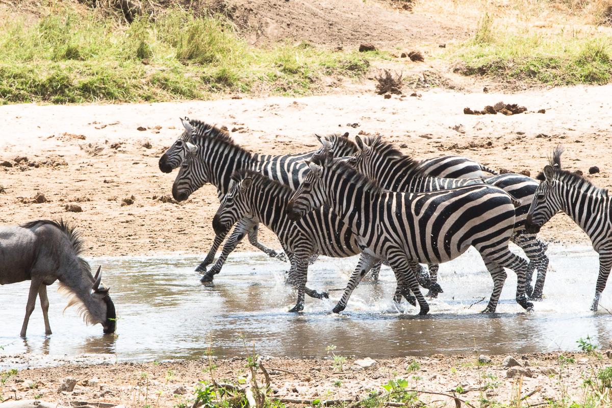 Zebras prancing
