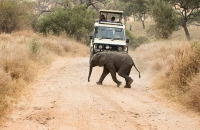 Baby Elephant crossing the road