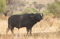 Bashful Bull