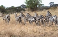 Zebras in queue