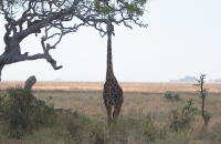 Giraffe stretching