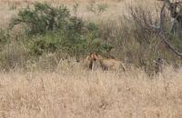 Devouring a warthog