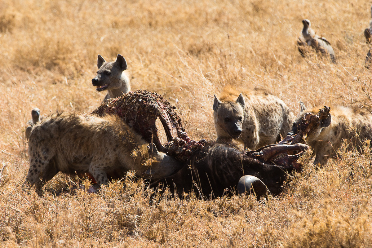 Hyenas and birds clean up
