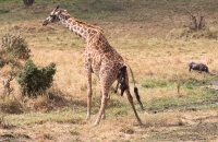 Sad picture of a giraffe