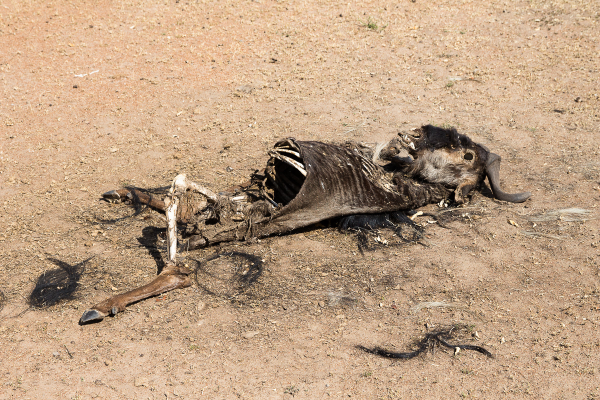 Ominous Wildebeest carcass