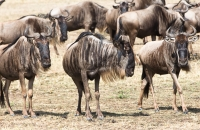 Wildebeests standing around